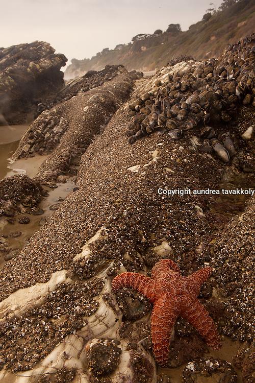 Hendry's beach, santa barbara, Sea star and barnacles on the rocks