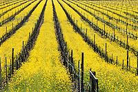 Early spring wild Mustard in California vineyard
