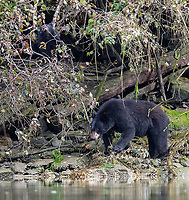A black bear and cub forage along the shoreline. Bears will eat anything from washed up fish carcasses to shellfish to crab apples in fall.
