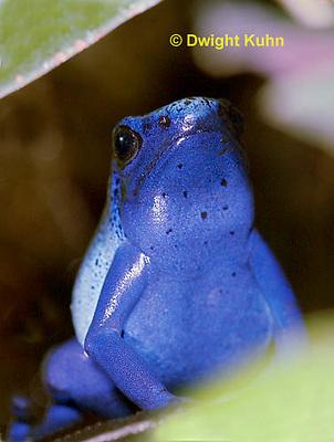 FR24-502z     Blue Poison Arrow Frog, Dendrobates azureus, Central America