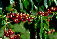 Close up of kona coffee beans on the tree