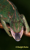 CH51-567z  Female Veiled Chameleon tongue flicking at prey, Chamaeleo calyptratus