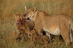 Full-bellied cubs and lioness' in Masai Mara National Reserve have just finished gorging on an African buffalo.