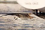 Brown Pelican (Pelecanus occidentalis) juvenile flying near sailboat, Santa Cruz Harbor, Santa Cruz, Monterey Bay, California