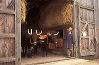 Sturbridge, Massachusetts, A team of oxen stand with interpreter inside a barn at the Freeman Farm in the Old Sturbridge Village.