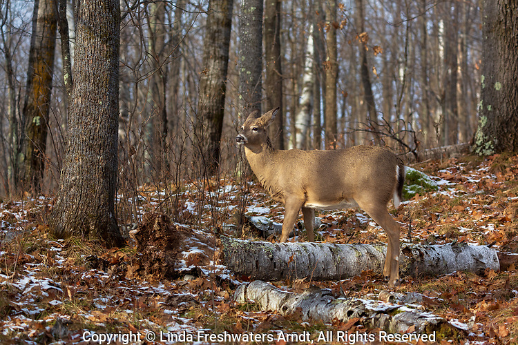 White-tailed fawn deep within the northern forest.