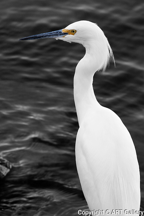 Egret Profile, Balboa Island, CA.