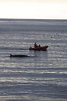 Minke whale Balaenoptera acutorostrata surfacing near research zodiac. Kvitoya, Arctic Ocean