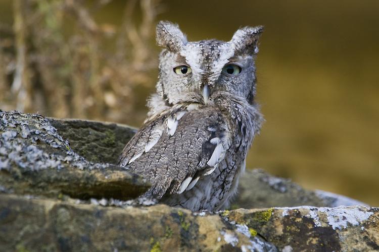Eastern Screech-owl sitting on a rocky outcrop