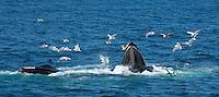 Humpback whale feeding off Cape Cod, MA