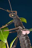 Samtschrecke, Peruanische Samtschrecke, Weibchen, Samtstabschrecke, Rotgeflügelte Samtschrecke, Peru-Stabschrecke, Schwarze Pfefferschrecke, Peruanische Pfefferschrecke, Samtschrecken, Peruphasma schultei, Peruphasma schulteii, Golden-Eyed Stick Insect, stick insect, female