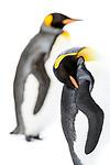 Study of adult king penguins (Aptenodytes patagonicus) sleeping / preening on snow. Grytviken, South Georgia, South Atlantic.