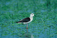 Black-winged Stilt, Himantopus himantopus, adult in rice field, Camargue, France, May 1993
