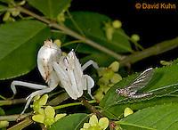 "0610-07qq  Malaysian Orchid Mantis Consuming Prey - Hymenopus coronatus ""Nymph"" - © David Kuhn/Dwight Kuhn Photography"