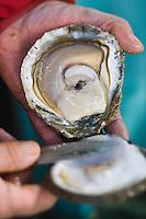 Europe/France/Bretagne/29/Finistère/Lannilis/Prat Ar Coum: Yvon Madec ouvre une huitre: Pied-de-cheval , huître plate de grande taille. Sa masse peut dépasser le kilogramme. Ces huîtres rares sont issues de bancs d'huîtres sauvages. Elles ont entre 10 et 25 ans d'âge.