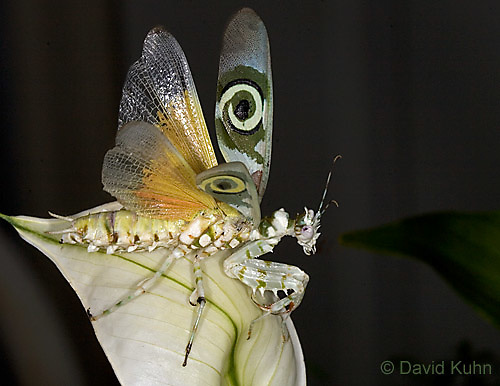 "0524-07xx  Displaying Spiny Flower Mantis (#9 Mantis) - Pseudocreobotra wahlbergii ""Female"" - © David Kuhn/Dwight Kuhn Photography"