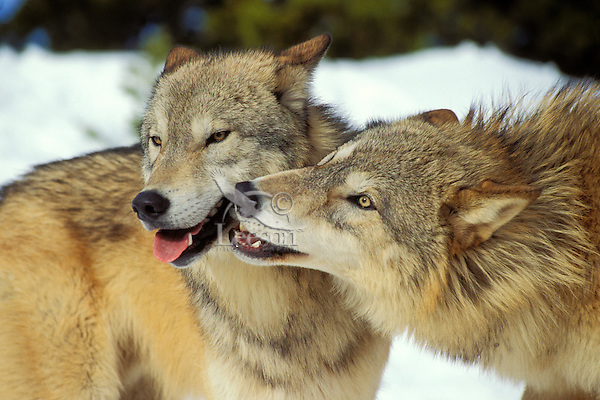 Gray wolf or timber wolf (Canis lupus), social behavior.