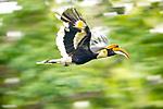 Male great Indian hornbill (Buceros bicornis) in flight through forest canopy. Kaziranga National Park, Assam, India.