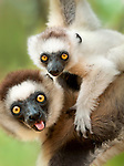 Female Verreaux's Sifaka (Propithecus verreauxi) with 4-5 month old infant. Berenty Private Reserve, southern Madagascar.