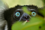 Adult indri (Indri indri) feeding in forest canopy. Mantadia National Park, Madagascar. IUCN: Endangered.
