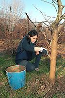 cascina Pirola, a Zelata di Bereguardo (PV), Agricoltura Biodinamica, filosofia antroposofica di Rudolf Steiner .  Spennelllamento di letame sul troco di un albero