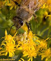 "1210-0909  Camouflaged Ambush Bug (Phymata spp.) Adult on Goldenrod Hunting a Honeybee (Apis mellifera) ""Virginia""  © David Kuhn/Dwight Kuhn Photography"