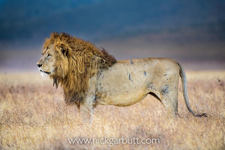 Male lion (Panthera leo) covered in battle scars. Ngorongoro Crater, Ngorongoro Conservation Area (NCA), Tanzania.