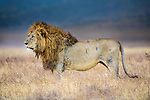 Male lion (Panthera leo) covered in battle scars. Ngorongoro Crater, Ngorongoro Conservation Area (NCA), Tanzania.
