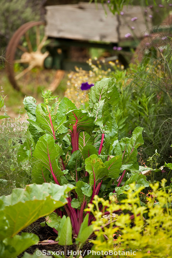 Rainbow chard (vegetable) and herbs in intensively planted farm garden with old wagon;
