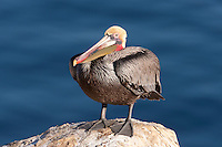 California Brown pelican (Pelecanus occidentalis) standing on a cliff over the Pacific ocean.