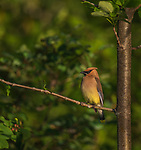 Cedar Waxwing perched in a tree near a Juneberry shrub.
