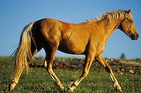 Wild Horse walks across meadow.  Western U.S., summer..(Equus caballus)
