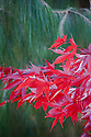 Acer palmatum 'Osakazuki', early November. One of the very best Japanese maples for autumn colour.