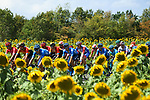 The peloton pass by sunflower fields during Stage 2 of Criterium du Dauphine 2020, running 135km from Vienne to Col de Porte, France. 13th August 2020.<br /> Picture: ASO/Alex Broadway   Cyclefile<br /> All photos usage must carry mandatory copyright credit (© Cyclefile   ASO/Alex Broadway)