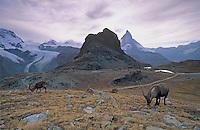 Alpine Ibex, Capra ibex ibex, male, Zermatt, Matterhorn, Switzerland, August 1998