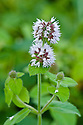 Water mint (Mentha aquatica) growing in the wetlands of the Somerset Levels, end August.