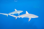 Gardens of the Queen, Cuba; a pair of Caribbean Reef Sharks swimming just below the surface in blue water