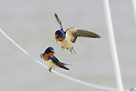 Barn swallows (Hirundo rustica) usually dart around at high speeds.
