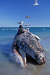 Dead Gray Whale