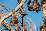 Little red flying foxes roosting in clusters. The little red flying fox (Pteropus scapulatus) is a species of megabat native to northern and eastern Australia. With a weight of 280–530 grams it is the smallest flying fox in mainland Australia.  It has the widest range of all the species, going much further inland than the larger fruit bats. Its diet primarily consists of nectar and pollen of eucalypt blossoms, the pollination of which it is largely responsible. The little red flying fox is nomadic, and can be found in large groups of up to a million individuals. This species gives birth six months later than the other mainland flying fox species, in April and May.