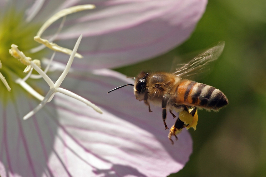 Honey Bee nectaring at a primrose wildflower.