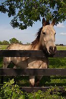 Beautiful gray Quarter Horse in a green pasture
