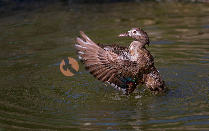 Female Wood Duck standing up in water, flapping wings with wings in front