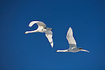 Hokkaido, Japan<br /> Whooper Swans (Cygnus cygnus) flying in a blue sky, Lake Kussharo, Akan National Park
