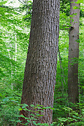 Hemlock - spruce - northern hardwood Forest in the area of the Deer Brook drainage of Albany, New Hampshire during the summer months. This area is part of the proposed Northeast Swift Timber Project.