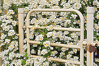 Gate with Dornoscherschloss roses. Heirloom Gardens, Oregon