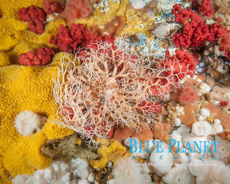 basket star, Gorgonocephalus eucnemis, among various marine animals, Browning Pass, British Columbia, Canada, Pacific Ocean