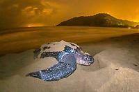 leatherback sea turtle, Dermochelys coriacea, female, nesting and laying eggs, at night, Grand Riviere, Trinidad, Trinidad and Tobago, Caribbean Sea, Atlantic Ocean