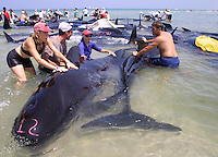 Rescue workers try to free over 50 pilot whales stranded on Chapin Beach in Dennis, Ma.