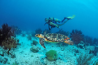 Scuba diver and Hawksbill sea turtle, Eretmochelys imbricata, Netherland Antilles, Bonaire, Caribbean Sea, Atlantic